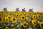 The breakaway, featuring Stephane Rossetto and Anthony Perez (FRA) Cofidis, Aime De Gendt (BEL) Wanty-Gobert and local Albi man Lilian Calmejane (FRA) Total Direct Energie, race by the sunflower fields during Stage 11 of the 2019 Tour de France running 167km from Albi to Toulouse, France. 17th July 2019.<br /> Picture: ASO/Pauline Ballet | Cyclefile<br /> All photos usage must carry mandatory copyright credit (© Cyclefile | ASO/Pauline Ballet)