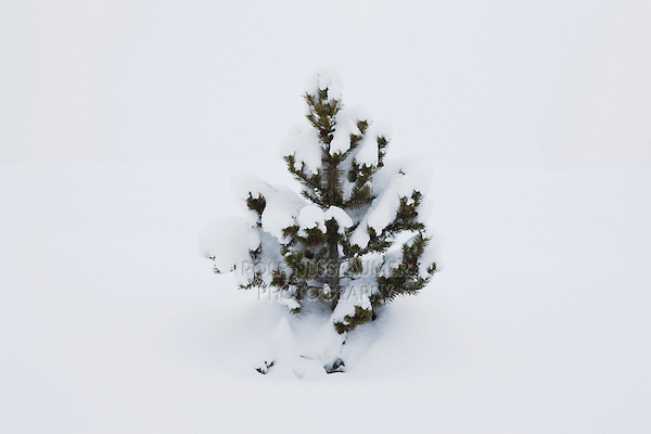 Spruce tree snow covered, Red Mountain Pass, Ouray, Rocky Mountains, Colorado, USA