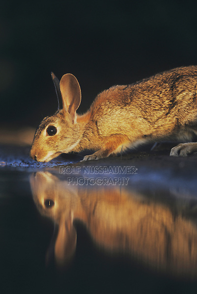 Eastern Cottontail (Sylvilagus floridanus), adult drinking, Starr County, Rio Grande Valley, Texas, USA, May 2002