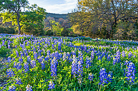 A Lush Field of Bluebonnets 2 - A field of Bluebonnets as the sun is getting lower in the sky with just a touch of light over the wildflowers in this abundant field of lupines. The Texas Hill country has always been one of my favorite places to catch bluebonnets and other texas wildflowers because of the natural setting available. Taking one of the many country roads we found this great field of texas lupines.