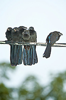 Groove-billed Ani, Crooked Tree, Belize