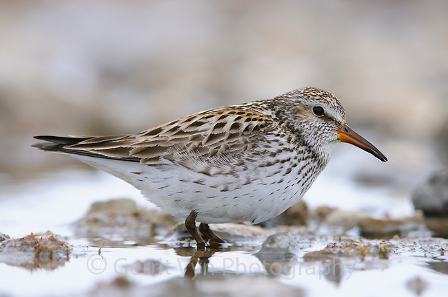 Adult male White-rumped Sandpiper (Calidris fuscicollis) in breeding plumage. Resolute, Nunavut, Canada. June.