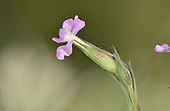 Sand Catchfly - Silene conica
