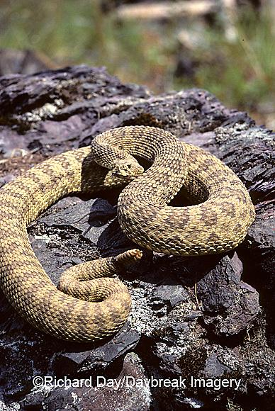 02915-00213 Western Rattlesnake (Crotalus viridis)    MT