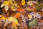 A variety of fallen leaves at Weetamoo Woods Preserve, Tiverton, RI, USA