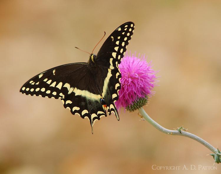 Black swallowtail on thistle