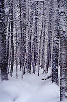 Deep snow in the deep woods of NH's White Mountains, in a virgin stand of pine on the shoulder of Mt Clinton. Mt Clinton NH USA White Mountains.