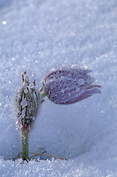 Hoarfrost coated prairie crocus (Anemone patens)<br /> Sandilands Provincial Forest<br /> Manitoba<br /> Canada