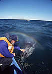 Rainbow blow while touching a gray whale calf.