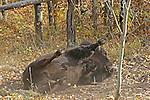 American Bison, Buffalo, bos bison