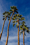 Palm trees above one of the many miniature golf courses in Sun City, Arizona.