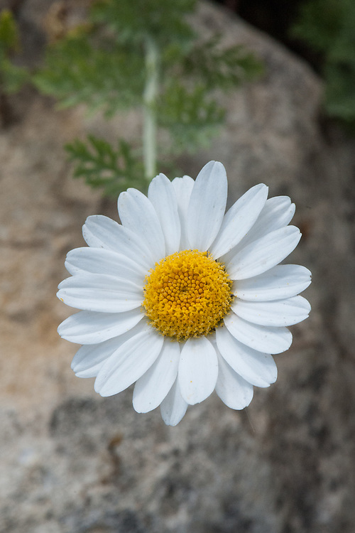 Anthemis punctata subsp. cupaniana, mid May. Commonly known as Sicilian chamomile.