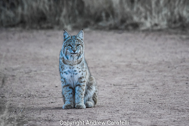 About twice the size of a domestic cat, Bobcats are keen predators that usually hunt at twilight. While their main diet consist of rabbit and other small mammals, they have been known to take down deer! Captured here,  a Bobcat in Southern Colorado.