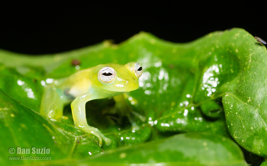 Emerald Glass Frog, Espadarana prosoblepon, on a leaf at Tirimbina Biological Reserve, Costa Rica