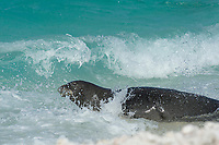 endemic Hawaiian monk seal, Neomonachus schauinslandi ( Critically Endangered Species ), male plunges back into surf after climbing up on beach to check for females, East Island, French Frigate Shoals, Papahanaumokuakea Marine National Monument, Northwest Hawaiian Islands, USA ( Central Pacific Ocean )