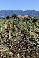 Weinberg im Etna-Vorland, Sizilien, Italien