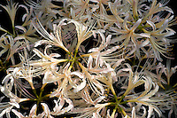 A white variety of Lycoris radiata, or spider lily, blooming in September in Japan's Kanto region.