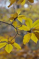 Europe/France/Centre/41/Loir-et-Cher/Sologne/Env de Bracieux:  Forêt à l'automne // Europe/France/Centre/41/Loir-et-Cher/Near Bracieux:  Forest in autumn