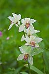 Luna Moth (Actias luna) on orchid