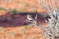 Red-Capped Robin female, west of Pt Augusta, SA, Australia