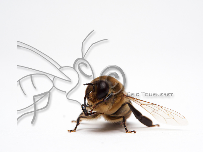 Veritable athletes built for flight, the male bees do not have a stinger and their tongue is very short. Their eyes have 8,000 facets while those of the worker bees have only 5,000. Its olfactory system with antennas longer by one segment is more efficient than that of the females. It has a longer range for the fertilization flight and a reproductive apparatus.<br /> Its abdomen is fatter and more rounded than that of the worker bee. It measures approximately 220mg as opposed to 100mg for a foraging bee. The males carry out several fertilization flights, most often 2 or 3, but they are capable of performing up to 5 in one afternoon. Before taking flight, the males clean their antennas and their eyes, most of the time at the entrance to the, but they also make those flights during the swarming, before a new hive has been found. The drones carry out two distinct fights: one for orientation and one for the fertilization. The orientation flights are short, lasting 1 to 6 minutes (Howell and Usinger, 1933). They help to locate the hive in its environment and also serve as a cleansing flight because the males defecate during it (Howell and Usinger, 1933). The fertilization flights are carried out by the mature males and last longer: 32.56 &plusmn; 22.49 minutes (Witherell, 1971).<br /> V&eacute;ritables athl&egrave;tes taill&eacute;s pour le vol, le male d&rsquo;abeille n'a pas de dard et leur langue est tr&egrave;s courte. Ses yeux comportent 8 000 facettes alors que ceux des ouvri&egrave;res n'en ont que 5 000. Son syst&egrave;me olfactif avec des antennes plus longues d&rsquo;un segment est plus performant que celui des femelles. Il a un rayon d'action plus &eacute;tendu pour le vol de f&eacute;condation et d'un appareil reproducteur.<br /> Son abdomen plus gros et arrondi que celui de l&rsquo;ouvri&egrave;re. Il est environ 220mg contre 100mg pour une butineuse. Les m&acirc;les effectuent plusieurs vols de f&eacute;condation, le plus souvent 2 ou 3, mais ils sont capa