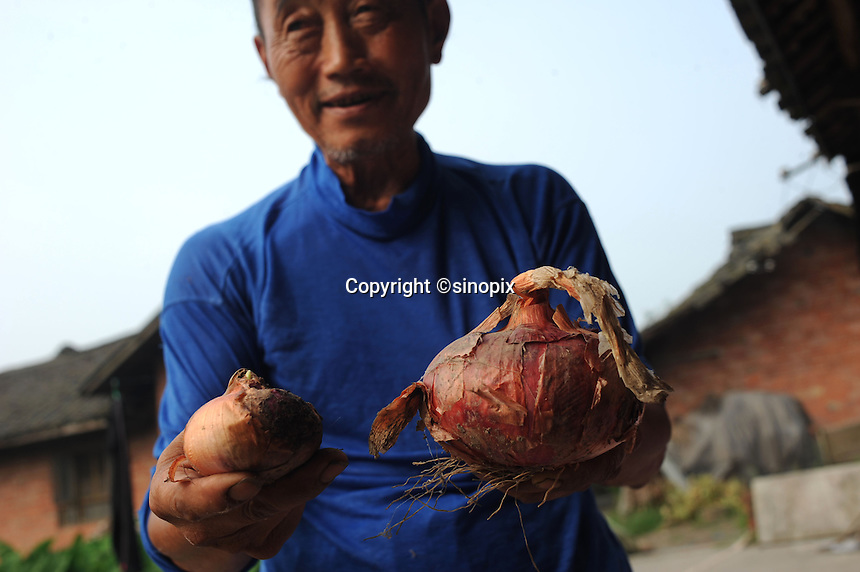 A farmer hold an onion (left) damged by gas at Xiao Jiao village next to the Dong Qi Emei Polysilicon Project near Leshan, Sichuan, China. The villagers complain of contaminated vegetables and poisoned air and ground water from the plant.<br /> <br /> photo by Richard Jones/Sinopix
