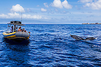 Tourists sightseeing and whale watching from an inflatable boat off the coast of Maui.