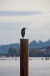National Geographic Sea Lion's Columbia River Expedition in the Pacific Northwest, Oregon. A great blue heron sits atop a piling in Astoria, Oregon.