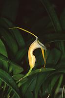 Masdevallia conscripta aka urosalpinx orchid species endemic to Peru