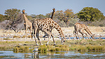 Giraffe At A Waterhole.  Giraffes Are Very Exposed When Bending To Take Water And So Drink In Turns.  In This Case, Two Drink While Two Others Keep A Look-out For Predators.