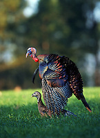 Eastern Wild Turkey with young.