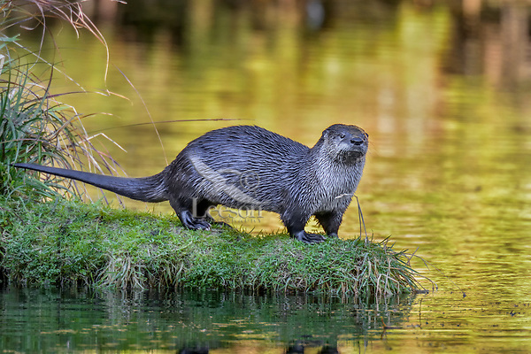 North American River Otter (Lontra canadensis) on grass/moss covered fallen log in old beaver pond, Olympic National Park Rainforest along Hoh River, Washington.  Late fall.