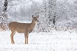White-tailed doe in a pretty winter landscape.