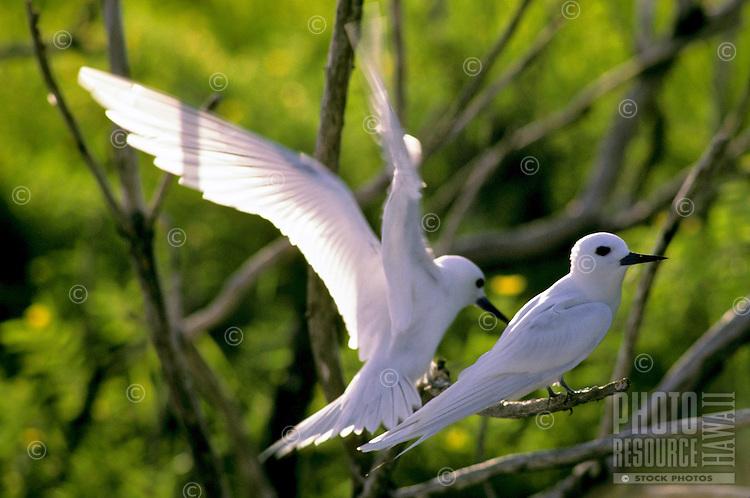 Fairy terns, Christmas Island