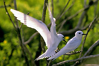 Fairy terns, Christmas Island