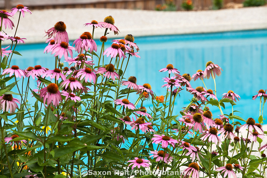 Purple coneflower, (Echinacea purpurea) by swimming pool in backyard garden; Haigh-Canon Garden