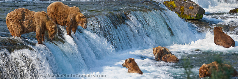Panorama of brown bears fsihing for salmong at Brooks Falls on the Brooks River, Katmai National Park, Alaska.