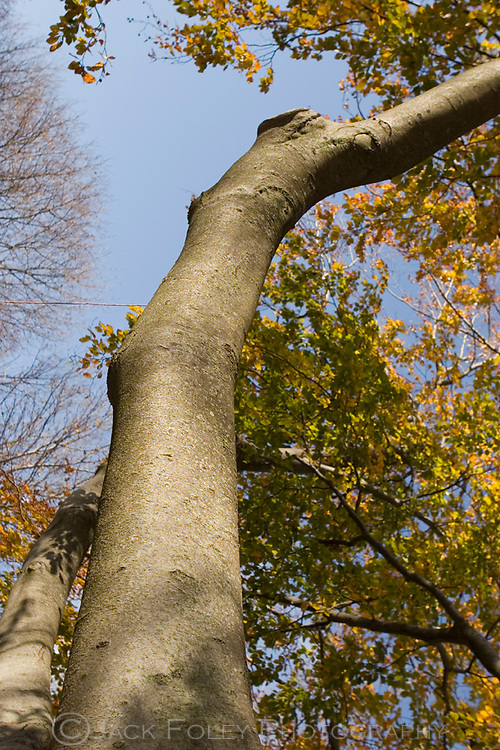 Looking up an American Beech tree.