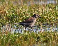 Female rusty blackbird