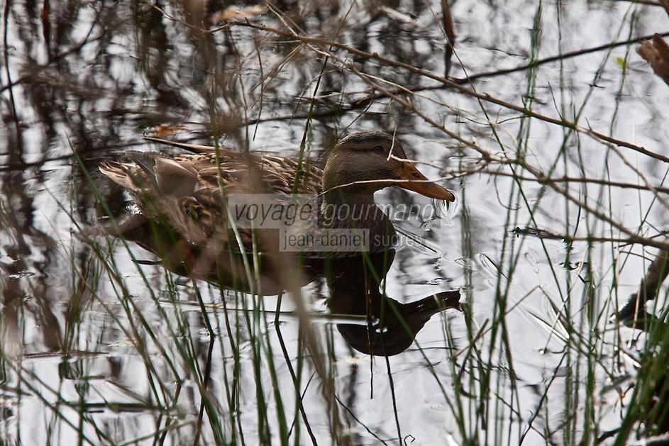 Europe/France/Aquitaine/33/Gironde/Bassin d'Arcachon/Le Teich: Parc Ornithologique du Teich - Canard sauvage col vert femelle