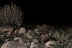 Beech Marten (Martes foina) at night, Sarychat-Ertash Strict Nature Reserve, Tien Shan Mountains, eastern Kyrgyzstan
