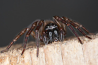 Ähnliche Fensterspinne, Finsterspinne, Kellerspinne, Weibchen, Porträt, Portrait, Amaurobius similis, Lace weaver spider, window lace weaver, House spider mouthparts, Finsterspinnen, Amaurobiidae