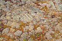 Crustose and fruiticose lichens on rock<br />