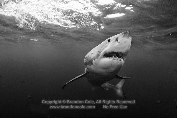 qm78598-D. Great White Shark (Carcharodon carcharias). South Africa. Color photo converted to black and white..Photo Copyright © Brandon Cole. All rights reserved worldwide.  www.brandoncole.com..This photo is NOT free. It is NOT in the public domain. This photo is a Copyrighted Work, registered with the US Copyright Office. .Rights to reproduction of photograph granted only upon payment in full of agreed upon licensing fee. Any use of this photo prior to such payment is an infringement of copyright and punishable by fines up to  $150,000 USD...Brandon Cole.MARINE PHOTOGRAPHY.http://www.brandoncole.com.email: brandoncole@msn.com.4917 N. Boeing Rd..Spokane Valley, WA  99206  USA.tel: 509-535-3489