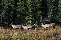 Woodland Caribou or forest-dwelling caribou (Rangifer tarandus caribou)--bull herding two cows.  British Columbia.  Fall.
