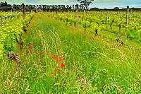 Wildflowers growing between the rows of vines, Martinborough Vineyard, Martinborough, South Wairapa region, North Island, New Zealand