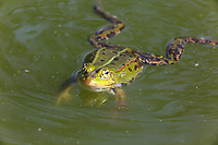 Teichfrosch, Teich-Frosch, Grünfrosch, Wasserfrosch, Frosch, Frösche, Pelophylax esculentus, Rana kl. esculenta, European edible frog, common water frog, green frog, La Grenouille verte, la Grenouille comestible