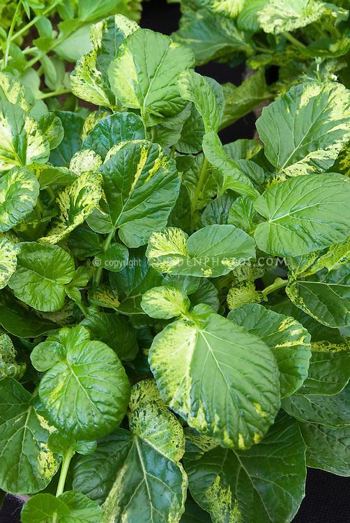 Barbarea vulgaris 'Variegata' aka Land Cress 'Variegated' salad greens vegetable