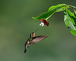In Flight - Purple-throated Mountain-gem Hummingbird