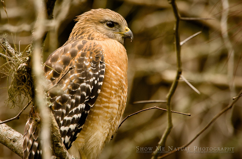 """Red-shouldered Hawk"", Florida"